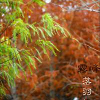 台中市休閒旅遊 景點 景點其他 霧峰北岸路落羽松 照片