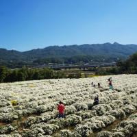 苗栗縣休閒旅遊 景點 景點其他 2014苗栗銅鑼杭菊季 照片