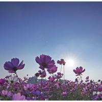 彰化縣休閒旅遊 景點 景點其他 南新社區花海節 照片