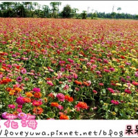 台南市休閒旅遊 景點 觀光花園 七股花海 照片