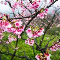 台北市休閒旅遊 景點 景點其他 陽明山平等里櫻花季 照片