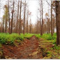 桃園市休閒旅遊 景點 景點其他 霄裡埤塘落羽松 照片
