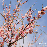 新北市休閒旅遊 景點 景點其他 建安131櫻花園 照片
