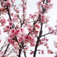 台北市休閒旅遊 景點 公園 東湖櫻花林 照片