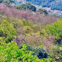 新北市休閒旅遊 景點 觀光花園 騰龍御櫻 照片