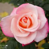 台北市休閒旅遊 景點 公園 花博公園新生園區玫瑰園 照片