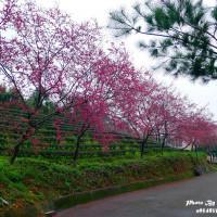 宜蘭縣休閒旅遊 景點 景點其他 宜蘭三星大同櫻花 照片