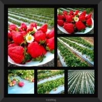 苗栗縣休閒旅遊 住宿 民宿 東海農莊草莓園 照片