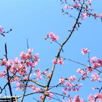 新北市休閒旅遊 景點 景點其他 三芝櫻木花道 照片