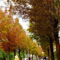 桃園市休閒旅遊 景點 景點其他 桃園大溪落羽松 照片
