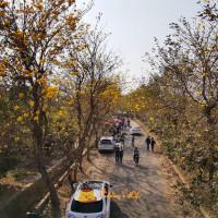 嘉義縣休閒旅遊 景點 景點其他 朴子溪黃花風鈴木 照片