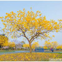 台中市休閒旅遊 景點 景點其他 黃花風鈴木 照片