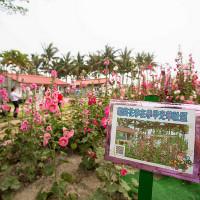 台南市休閒旅遊 景點 景點其他 光華里蜀葵花田 照片