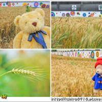 桃園市休閒旅遊 景點 景點其他 平鎮小麥田 照片