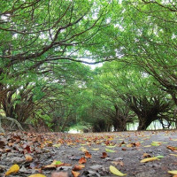 台南市休閒旅遊 景點 景點其他 長勝營區綠色隧道 照片