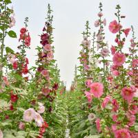 彰化縣休閒旅遊 景點 觀光花園 彰化員林南區公園蜀葵花 照片