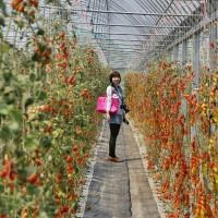 苗栗縣休閒旅遊 景點 觀光果園 曾班長草莓園 照片