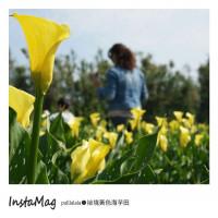 台中市休閒旅遊 景點 觀光花園 台中外埔黃色海芋田 照片