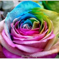 台北市休閒旅遊 景點 紀念堂 士林官邸-2015玫瑰花展 照片