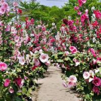 台南市休閒旅遊 景點 觀光花園 蜀葵花季在學甲光華社區 照片