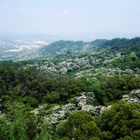 苗栗縣休閒旅遊 景點 景點其他 雙峰山賞桐花 照片