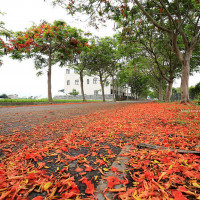 彰化縣休閒旅遊 景點 景點其他 鳳凰花隧道 照片