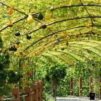 苗栗縣休閒旅遊 景點 景點其他 龍昇湖金瓜隧道 照片