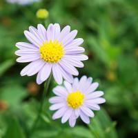 紫色微笑在大安藥園休閒農場 pic_id=1473764