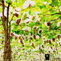 彰化縣休閒旅遊 景點 觀光果園 大村葡萄隧道 照片