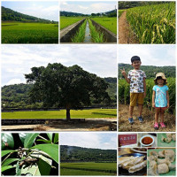 新竹縣休閒旅遊 景點 景點其他 新竹新埔的金城武樹 照片