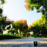 彰化縣休閒旅遊 景點 景點其他 台灣欒樹隧道 照片