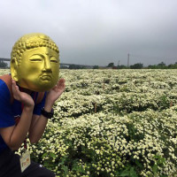 苗栗縣休閒旅遊 景點 景點其他 2015銅鑼杭菊季 照片