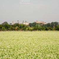 彰化縣休閒旅遊 景點 觀光花園 蕎麥花田 照片