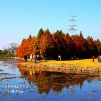 台中市休閒旅遊 景點 觀光林園 泰安國小旁落羽松 照片