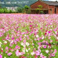 新竹縣休閒旅遊 景點 景點其他 新竹秀湖村花海 照片