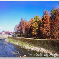 桃園市休閒旅遊 景點 景點其他 八德落羽松祕境 照片