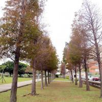 桃園市休閒旅遊 景點 景點其他 玉山公園落羽松 照片