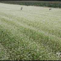 彰化縣休閒旅遊 景點 景點其他 彰化二林。蕎麥花海 照片