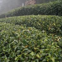 台中市休閒旅遊 景點 觀光茶園 梨山古邁茶行 照片