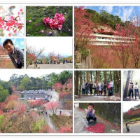 苗栗縣休閒旅遊 景點 古蹟寺廟 協雲宮櫻花 照片