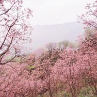 新北市休閒旅遊 景點 觀光花園 三峽熊空櫻花林 照片
