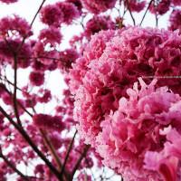 台中市休閒旅遊 景點 美術館 美術綠園道洋紅風鈴木 照片
