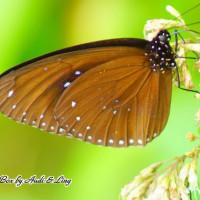 雲林縣休閒旅遊 景點 景點其他 林內紫斑蝶季 照片