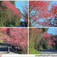 新北市休閒旅遊 景點 觀光花園 滬尾櫻花大道 照片
