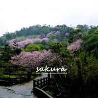 台北市休閒旅遊 景點 景點其他 內厝溪櫻木花廊 照片