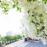 台中市休閒旅遊 景點 景點其他 五權五街流蘇花 照片