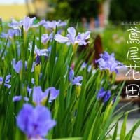 彰化縣休閒旅遊 景點 觀光花園 田尾鳶尾花田 照片