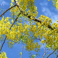 台南市休閒旅遊 景點 景點其他 台南阿勃勒花季 照片