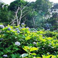 苗栗縣休閒旅遊 景點 景點其他 高山青農場繡球花 照片