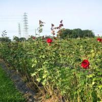 屏東縣休閒旅遊 景點 觀光花園 大花有機農場 照片